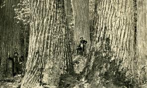 The American chestnut was one of the largest and most ecologically important hardwoods in eastern North America before it was virtually eliminated by an introduced fungal pathogen. This famous historical photo was taken in North Carolina (courtesy http://www.ourstate.com/american-chestnut/). My undergraduate thesis explored the historical role of chestnut in western Massachusetts, and the response of today's forests to the loss of chestnut. Surprisingly, chestnut saplings still sprout from the buried root systems of large trees that are long-gone, giving the species an entirely new ecological role.