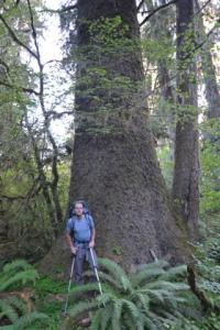 Old-growth Sitka spruce in the South Fork of the Hoh.