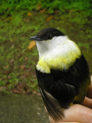 The white-collared manakin at La Selva, Costa Rica. Note the yellow tinge on the collar. Is this mutation spreading in this population? Time will tell.