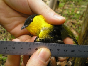 Measuring the epaulets on an undescribed Manacus subspecies on Isla Bastimentos.