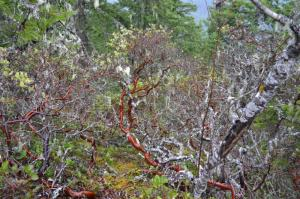 More twisted manzanita.