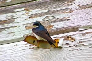 280 sp 14 tree swallow