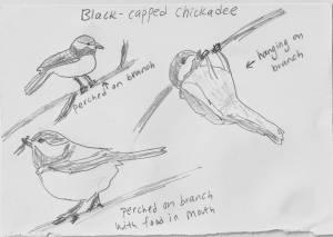 280 sp14 chickadee drawing