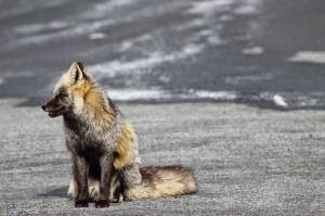 280 sp14 fox