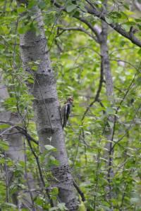 280 sp14 woodpecker