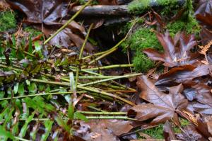 Mountain Beaver ferns